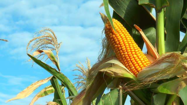 Corn on the stalk in the field video