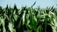 Corn on wind video