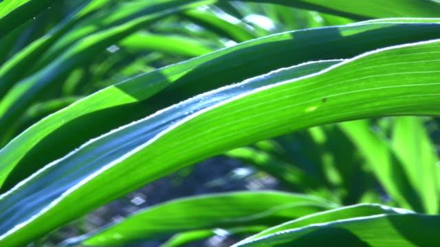 Corn. Plants. video