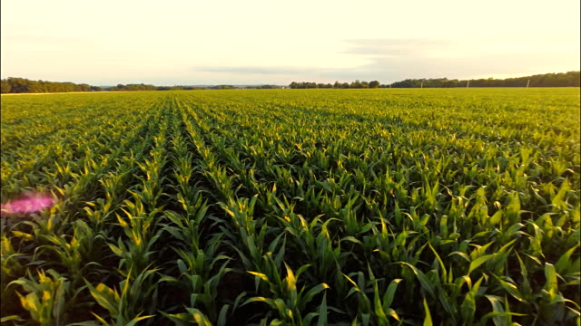 AERIAL Corn Plants video