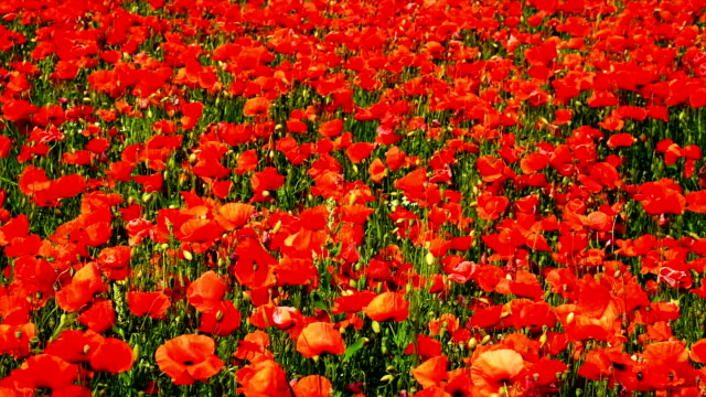 Corn Poppy Field video