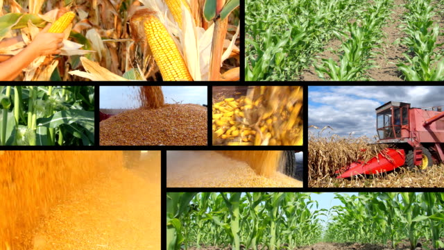 Corn Production - Collage video