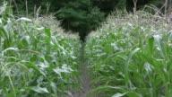 Corn row zoom in HD video