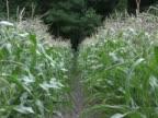 Corn row zoom in PAL video
