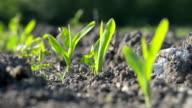 Corn seedlings video