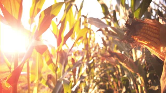 SLO MO PAN Corn shining in the setting sun video