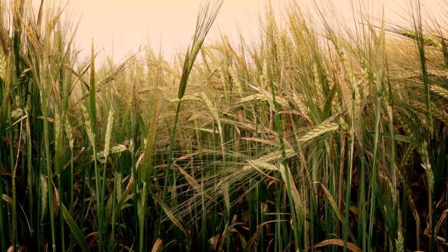 Corn Shoots At Sunset video