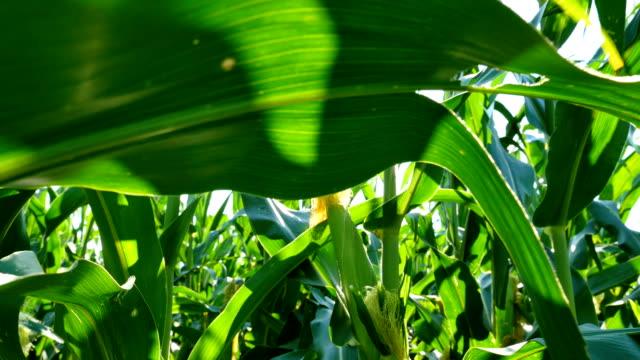 Corn Tracking Forward video