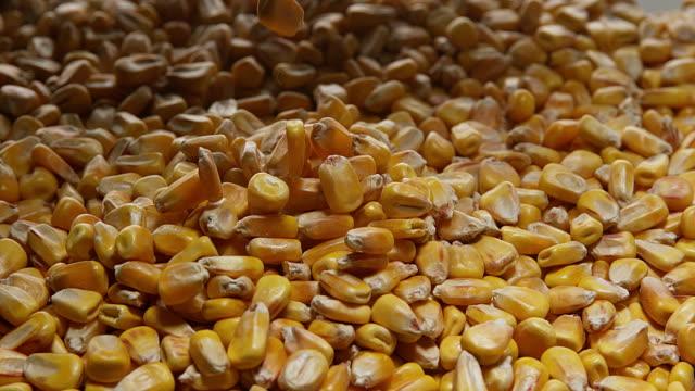 Corn, zea mays falling, Slow motion 4K video