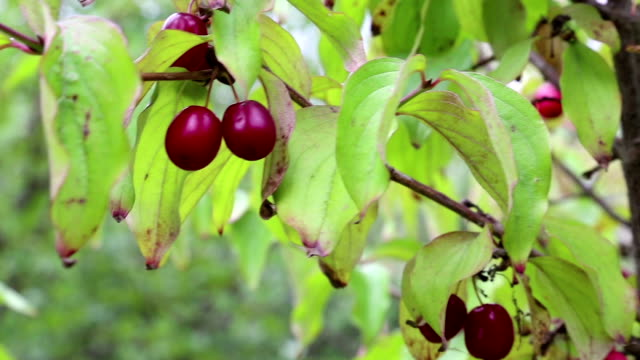 Cornel tree with cornelian cherries video