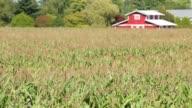Cornfield in Sunshine, Red Barn video