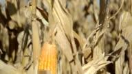 cornfield video