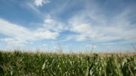 cornfield with clouds, time lapse video