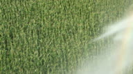 Cornfield with Passing Pivot Irrigations Sprinkler video