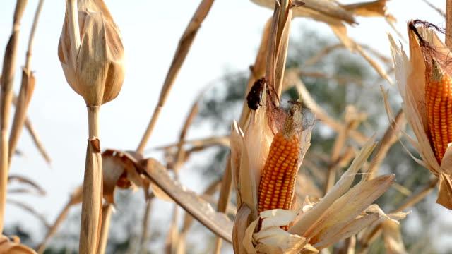 Corns video