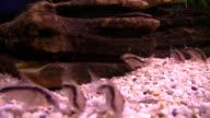 Corydoras Catfish in aquarium video
