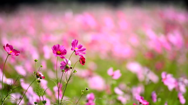 Cosmos flower field video
