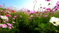 Cosmos flower field video