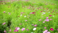 Cosmos flower in field video