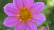 Cosmos Flower. Selective focus. video