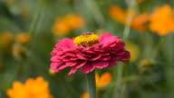 Cosmos flower video