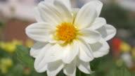 Cosmos Flower. video