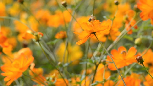 Cosmos flower with a bee. video