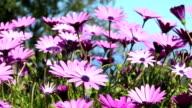 Cosmos Flowers , La Palma /Spain video