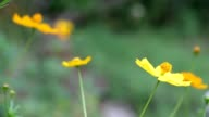 Cosmos Flowers Swaying in the Breeze video