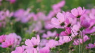 Cosmos flowers video