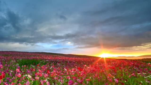 Cosmos garden at sunrise video