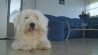HD: Coton de Tulear Dog Lying On The Floor video