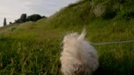 SLO MO Coton de Tulear Running In The Grass video