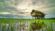 Cottage in terraced rice paddy field video