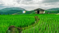 Cottage on green rice field at sunset in pa bong piang chiang mai thailand video