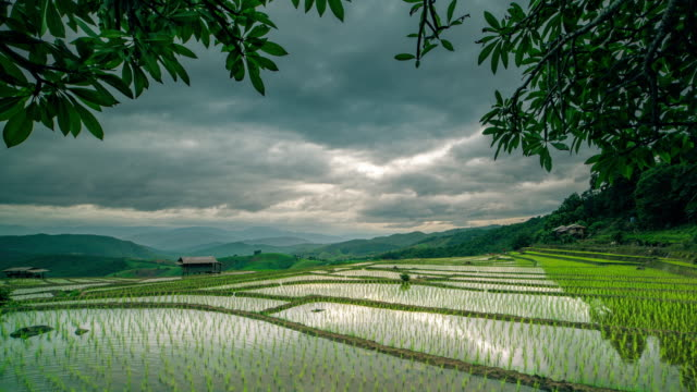 Cottage on green rice field in chiang mai thailand video