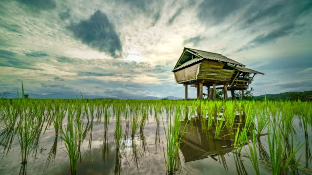 Cottages on green rice field video