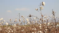 cotton farms video