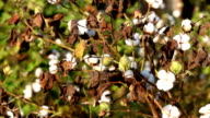 Cotton Field Close up During Sunset video