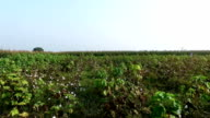 Cotton field elevated view video