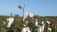 Cotton field ready for harvesting video