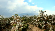 Cotton Fields Time Lapse video
