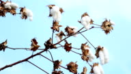 cotton Flower video