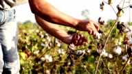 Cotton Harvesting video