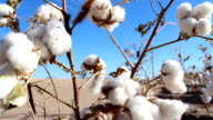 Cotton Picking Close-Up video
