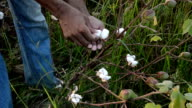 Cotton Picking video
