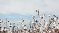 Cotton plant field on sky video