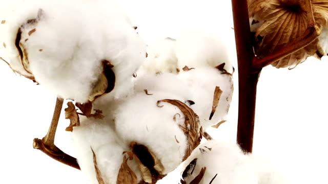 Cotton Plant video