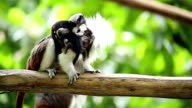 cotton top tamarin video