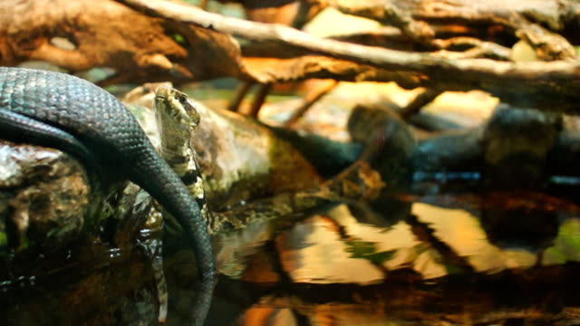 Cottonmouth Moccasin video